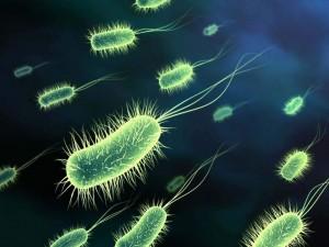 L'escherichia coli vie urinarie